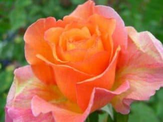 Чайная гибридная роза