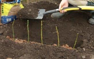 Высаживаем черенки в грунт
