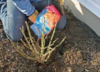 подкармливаем розы осенью
