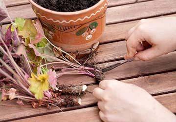 черенкование растения