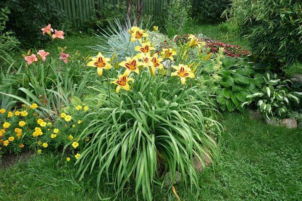 фото цветов лилейника