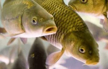 разведение промысловых рыб на участке