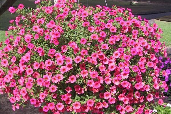 Фото цветов лобелии