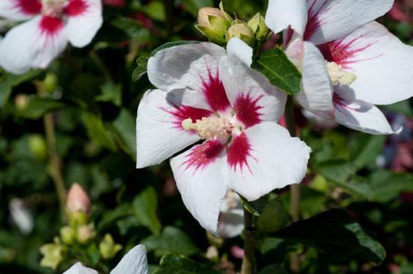 фото цветов гибискуса