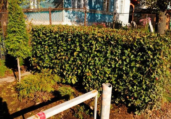 Живая изгородь из боярышника своими руками