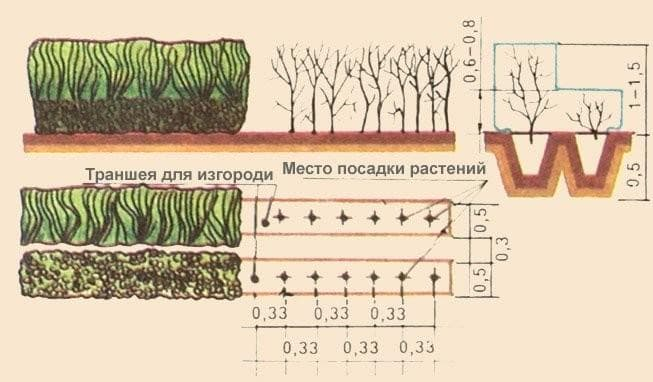 Посадка изгороди из боярышника