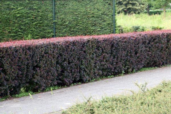 Живая изгородь из барбариса