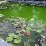 почему быстро зеленеет вода в бассейне