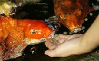 кормление рыбы с рук
