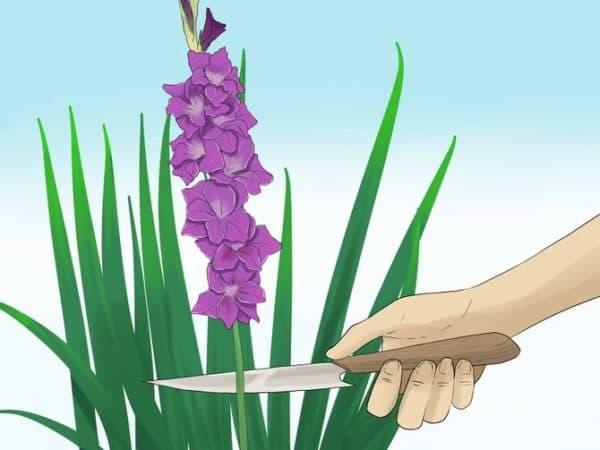 srezka gladiolusov