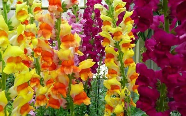 vidu gladiolusov