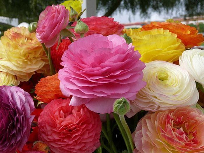Лютики садовые посадка и уход выращивание из семян