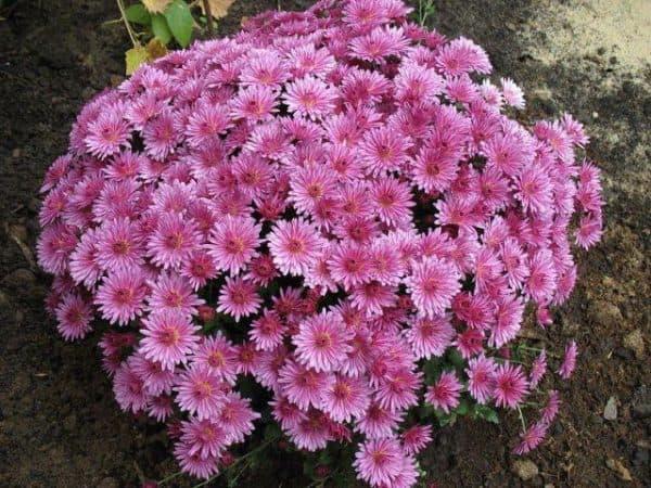 hrizantema-multiflora