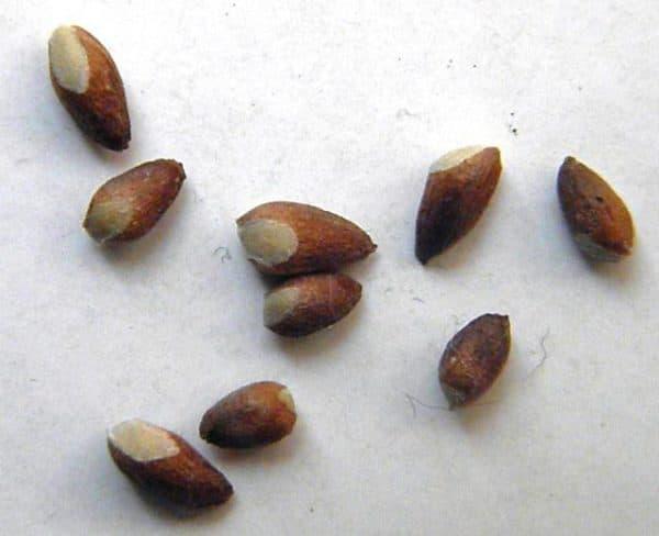 semena mozhzhevelnika