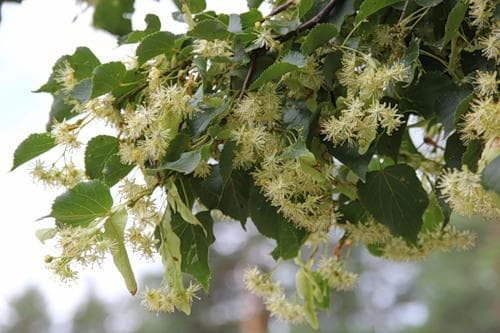 Когда цветет липа: описание, посадка и уход на дачном участке, продолжительность жизни