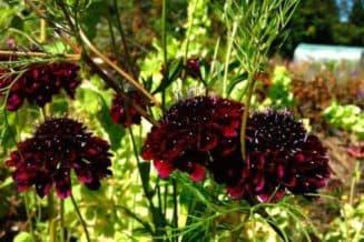 цветы скабиоза выращивание из семян