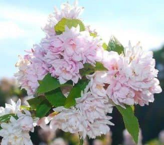дейция розовая плена посадка и уход