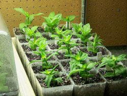 ростки Циния