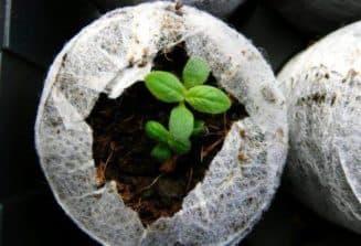 гелиотроп выращивание из семян когда сажать