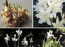 уход за цветами тубероза