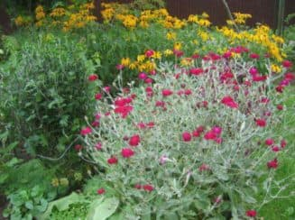 лихнис корончатый выращивание из семян