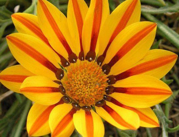 цветок Потси