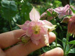 цветок аквилегия в семенах