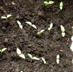 семена маргаритки многолетней