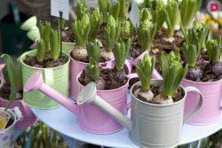 удобрения для цветов Гиацинтов