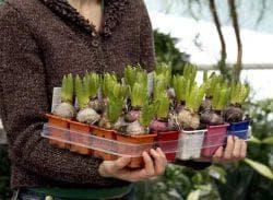 полив цветов Гиацинтов