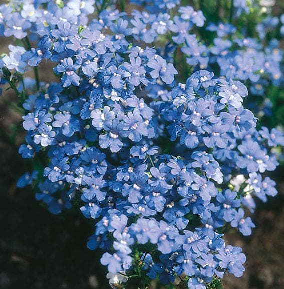 немезия Blue Gem