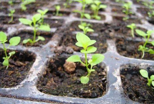 Статица посадка и уход в открытом грунте Статице выращивание из семян когда сажать на рассаду Фото на клумбе кермек лимониум