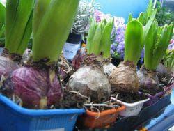 как выращивать гиацинты
