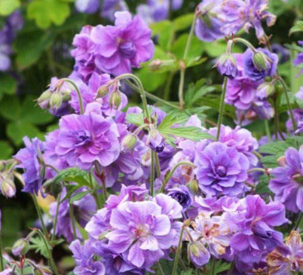 долго цветущая Герань садовая