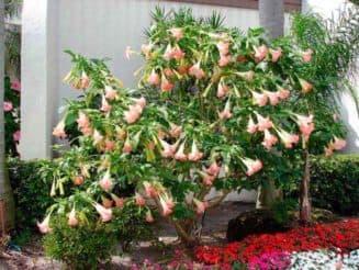 как посадить бругмансию из семян