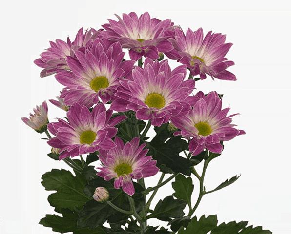кустарниковая хризантема