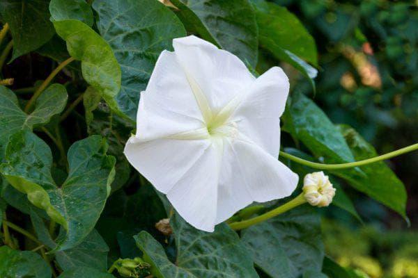 цветок Луноцветущая