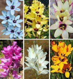 разновидности цветов Иксии