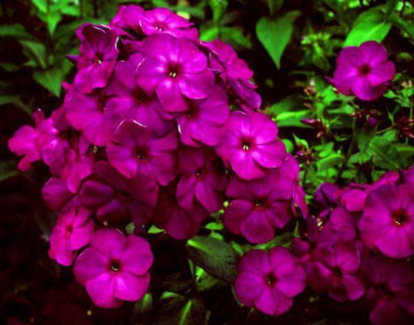 цветы Аида