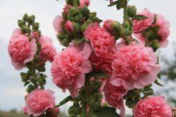 розовая шток-роза