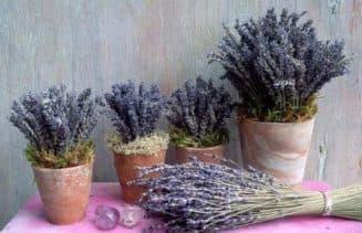 как вырастить лаванду из семян в домашних