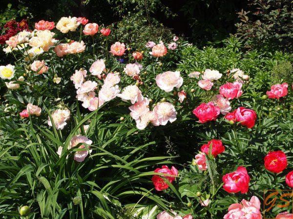 долго цветущий Пионы