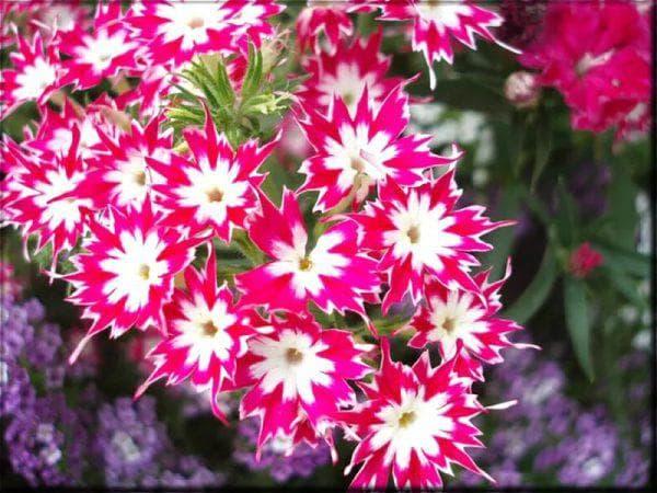 цветы Друммонда