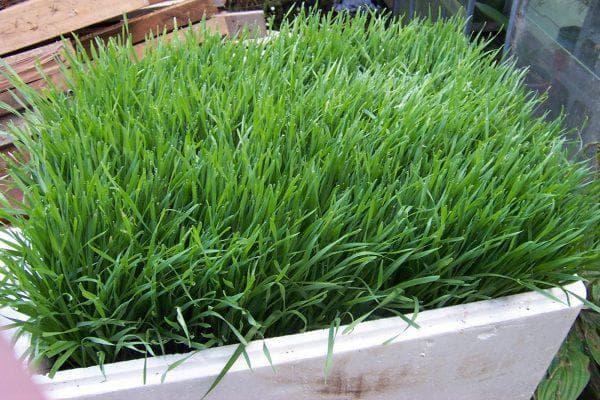 газонная трава Болотный мятлик