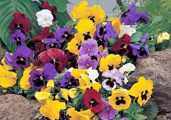 цветы Виолы Витторка Швейцарские гиганты