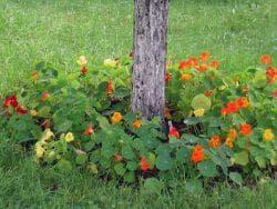 вьющаяся настурция в саду