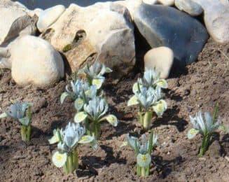 как выращивать ирисы в открытом грунте