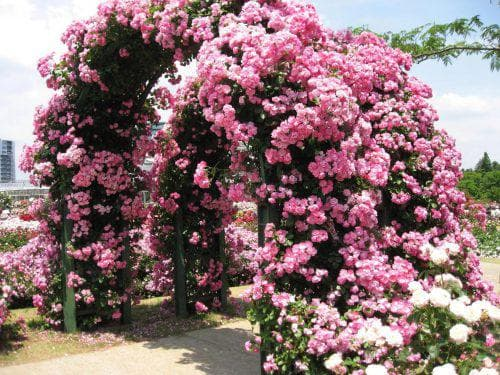 Роза хендель плетистая зимостойкость уход — Мир цветов