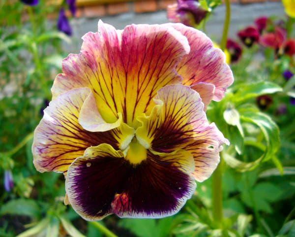 цветы Виолы Витторка Рококо