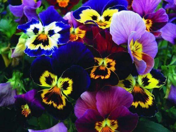 цветы Виолы Витторка Бамбини